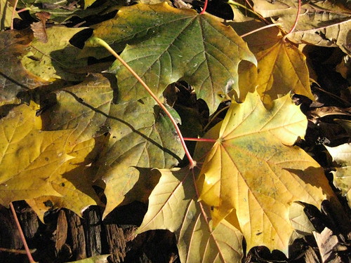 norway maple leaves