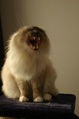 Angry Najim? (Mandy Verburg) Tags: animal cat kat feline pussy kitty angry predator dier poes kater himalayan tomcat yawning boos najim geeuwen roofdier katachtige thebiggestgroup cc100 mandyarjan lmaoanimalphotoaward thebiggestgroupwithonlycats