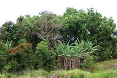 trees (matchity) Tags: tree hawaii palm waipio