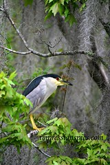 Night Heron_Florida