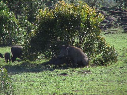 Mara Warthogs Mating