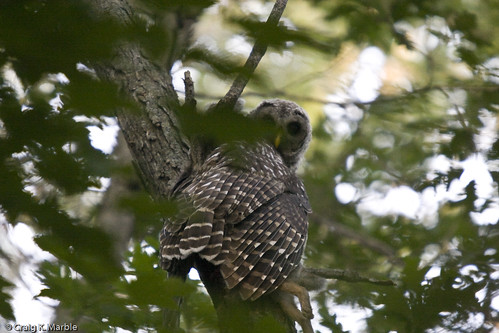 Barred Owl (1 of 4)