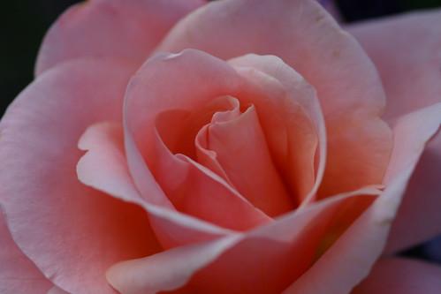 Pale Pinl Rose Close Up