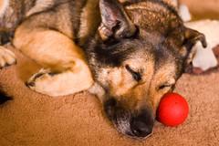 it's a rough life (.cheryl) Tags: sleeping red dog pet ball d50 nikon shepherd sable canine german gsd kellee