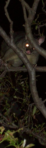 possum tall