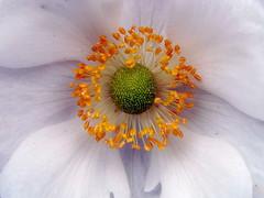 White Anemone (Mac ind g) Tags: summer white flower garden ilovenature scotland flora glasgow anemone diamondclassphotographer flickrdiamond