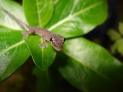 Baby Gecko Licking Eyes (Cameron J Galipo) Tags: gecko babygecko