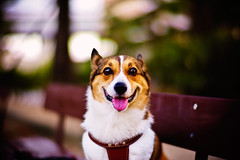 hello there! (moaan) Tags: leica portrait dog eye smile smiling digital pose 50mm corgi eyes dof bokeh posed f10 m8 noctilux welshcorgi 2007 explored pochiko thelittledoglaughed leicam8 leicanoctilux50mmf10 cameraeyes bokehwhores gettyimagesjapanq1 gettyimagesjapanq2