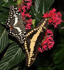 Lepidoptera sp. (ComputerHotline) Tags: life france nature animal insect lepidoptera papillon alsace fra insecte vie papillons insecta papiliocresphontes hunawihr lpidoptre papiliodemodocus jardindespapillons