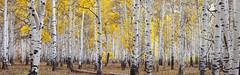 The Aspen Forest - Utah (D Breezy - davidthompsonphotography.com) Tags: autumn trees fall canon utah fallcolors pano aspen impression 70200mm 70200mmf4l kolobterrace 5dmarkii canon5dmarkii artwolfetimfitzharrispeterlikanddavidnotoninspired
