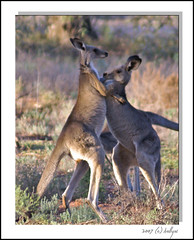 Let's Tango! (fotofantasea) Tags: travel portrait orange plants brown white tree green nature animals closeup landscape grey movement flora funny dof action bokeh wildlife tail australia ears roadtrip kangaroo frame newsouthwales outback paws bourke 223 naturesfinest superbmasterpiece beyondexcellence auselite