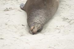 Elephant Seal RIP