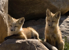 morning sunshine (lucky e) Tags: colorado hiking fox kits steamboat foxes animalkingdomelite
