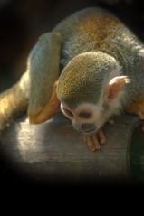 hide and seek (*ds*) Tags: d50 monkey nikon sigma finest natures 70300 naturesfinest wowiekazowie dsphotographydesign