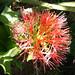 Kiwi Flower (7409)