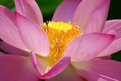 蓮 /Lotus