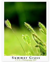 Summer Grass (Thushan Sanjeewa) Tags: trip travel summer vacation canada green nature grass bravo dof shots seeds depthoffield explore lightgreen outstanding naturesfinest supershot outstandingshots magicdonky superbmasterpiece colourartaward excapture