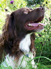 Benjy (billnbenj) Tags: dog hot green grass sunshine spaniel springerspaniel resting benjy brownandwhitedog