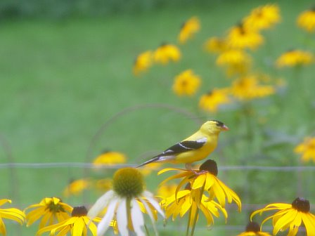 American Goldfinch sitting on a Rudbeckia flower