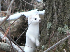 Ermine (Mustela erminea) (Birdfreak.com) Tags: cute ermine mammals northwoods stoat northernwisconsin mustelaerminea supershot november2006 specanimal pricecounty animalkingdomelite naturesgallery mywinners shorttailedweasel parkfallswisconsin phridayphoto birdfreaknpa