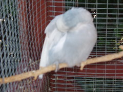 Major 1 (Chris....) Tags: bird budgie eneerc
