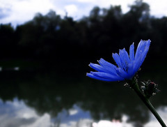 Rhapsody in Blue (Firenzesca) Tags: blue lake flower nature colours rhapsody takeabow gershwin flowersflores abigfave anawesomeshot impressedbeauty superaplus aplusphoto heartaward thejurors colourartaward