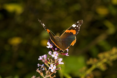 """Red Admiral Butterfly (Vanessa atala(25) • <a style=""""font-size:0.8em;"""" href=""""http://www.flickr.com/photos/57024565@N00/1331471389/"""" target=""""_blank"""">View on Flickr</a>"""