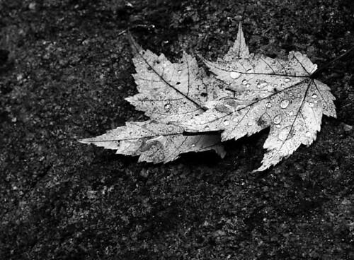 Maple Leaf Droplets