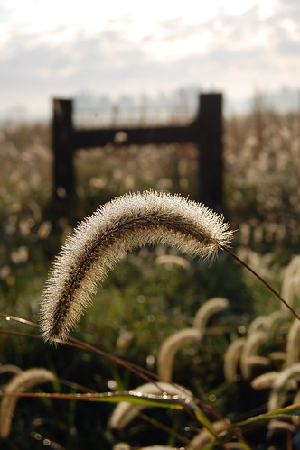 Seed Head and Fence Post