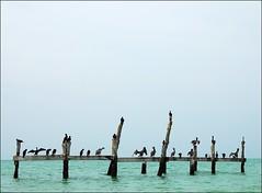 pelicans (Lodonnec) Tags: ocean sea pelicans birds holbox viela sechoir 10faves aplusphoto bestofr virela gardela virela2 gardela2 gardela3 gardela4 gardela5 gardela6 gardela7 gardela8 gardela9 gardela10