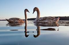 Cygnet reflections - IMG_8189ab (Ablume - back on naturewatch) Tags: copyright bird nature water wildlife cygnet muteswan cygnusolor farum knopsvane naturewatcher dazzlingshots floraandfaunaoftheworld alfblumehotmailcom