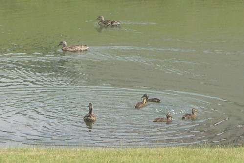 Ducks afloat