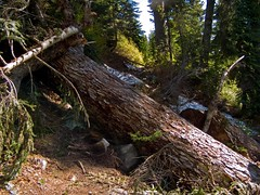 Big deadfall across PCT