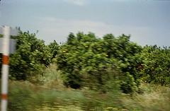 De eerste sinaasappelbomen (alwinoll) Tags: valencia vakantie 1972 spanje sinaasappelbomen