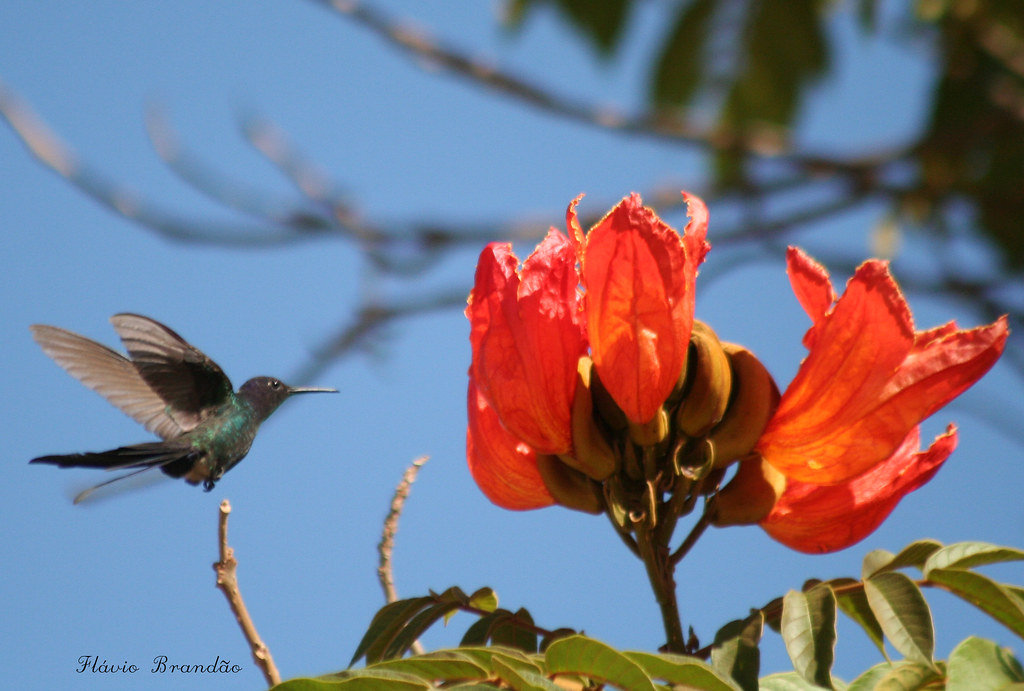 Beija-flor Tesoura (Eupetomena macroura) e a Tulipa africana (Spathodea campanulata) - Swallow tailed Hummingbird and the African tuliptree 39 15-07-07 273