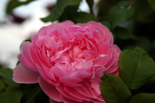Baronne Prevost Rose