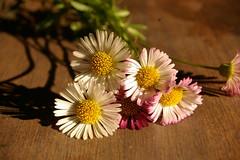colourful miniature daisy flower macro (Vanessa Pike-Russell) Tags: flower macro closeup bestof pentax mostinteresting faves portfolio popular 2007 reversedlens myfaves supershot pentaxistdl auselite vanessapikerussellbest