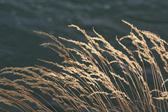 Grasses 0977 - by Yukon White Light