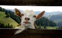 E gueti Woche !!! (steffi's) Tags: berg animals schweiz switzerland tiere farm farming landwirtschaft goat ziege be agriculture 羊 alp cabra bauernhof chèvre capra eriswil やぎ berggebiet hausziege brestenegg bresteneggalp