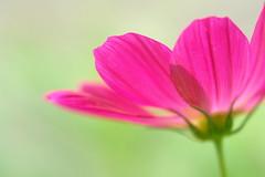Melt in air. (minorin) Tags: pink flower cosmos excellence blueribbonwinner top20flowers 50faves flowerotica 35faves 25faves masterphotos abigfave colorphotoaward diamondclassphotographer excellentflowers goldenart