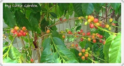 我家空中花園咖啡樹 (5)