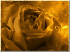 A golden rose for you! ( Popotito ) Tags: old naturaleza flower southamerica nature argentina beautiful rose wonderful gold lights golden luces petals buenosaires pretty glow shadows antique exploring flor gimp rosa petal explore linda bonita viejo sombras shinny antiguo brillante dorado jugando oro brillo petalo investigating dorada petalos explorando maravillosa investigando impressedbeauty goldenphotographer overtheexcellence popotito agoldenroseforyou