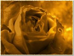 A golden rose for you! ( Popotito ) Tags: old naturaleza flower southamerica nature argentina beautiful rose wonderful gold lights golden luces petals buenosaires pretty glow shadows antique exploring flor gimp rosa petal explore linda bonita viejo sombras shinny antiguo brillante dorado jugando oro brillo petalo investigating dorada petalos explorando maravillosa investigando impressedbeauty goldenphotographer overtheexcellence popotito agoldenroseforyou