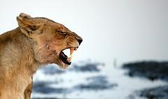 POWER (peo pea) Tags: africa cats nature cat river bush wildlife leoni fiume lion natura lions botswana waterhole leone chobe pozza naturalmente naturesfinest leonessa supershot 10faves wildafrica anawesomeshot aplusphoto peopea wwfita