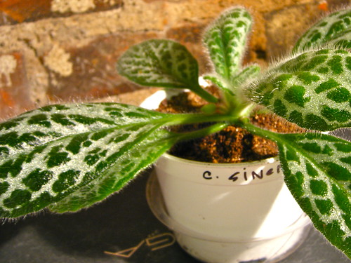 Chirita Sinensis 'Silver' (Angle 2)