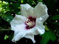 Rosa de Siria por TeresalaLoba (TeresalaLoba) Tags: garden spain jardin galicia hibiscus altea gondomar hibiscussyriacus rosadesiria treehollyhock peitieiros teresalaloba reinodegondor