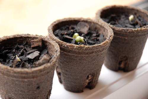 emerging seedlings