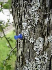 m29_thumbtack_lichen