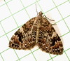 Dysstroma sp. (willapalens) Tags: june moth geometridae wa willapa 7184 pacificcounty dysstroma sobria