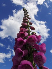 Love The Foxglove (Joe Shlabotnik) Tags: flower maine digitalis foxglove myfave 2007 capeelizabeth faved abstractarty june2007 aplusphoto heylookatthis